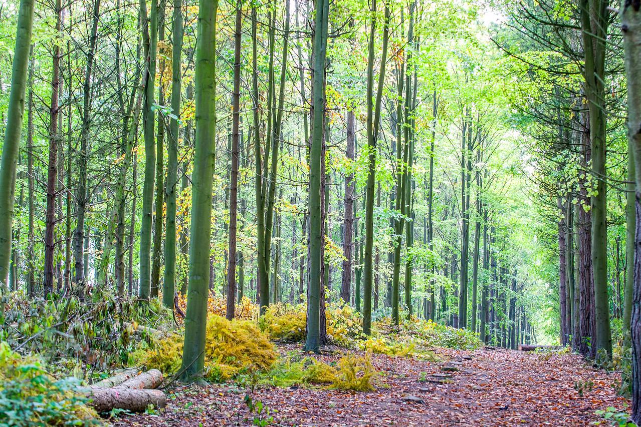 Jubilee Wood, Therfield Heath, Hertfordshire