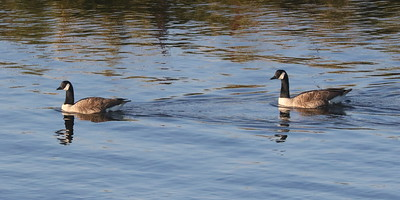 Geese on the Glaslyn