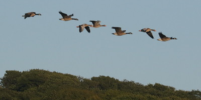 Skein of Geese over The Cob