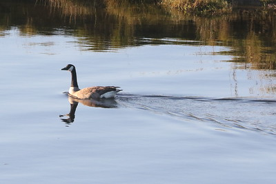 Goose swimming on the Glaslyn