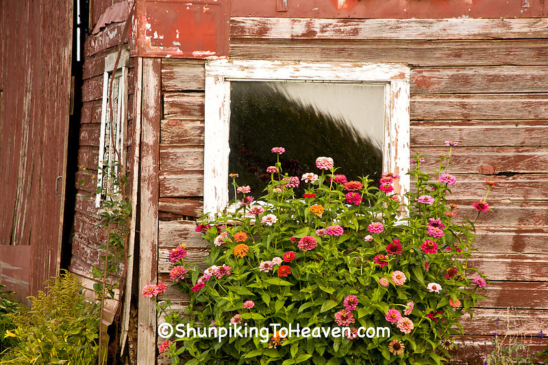 Zinnias and a Faded Red Barn, Vernon County, Wisconsin