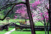 Blossoming Redbud and Dogwood, Lawrence County, Indiana