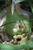 pregnant onion, Ornithogalum