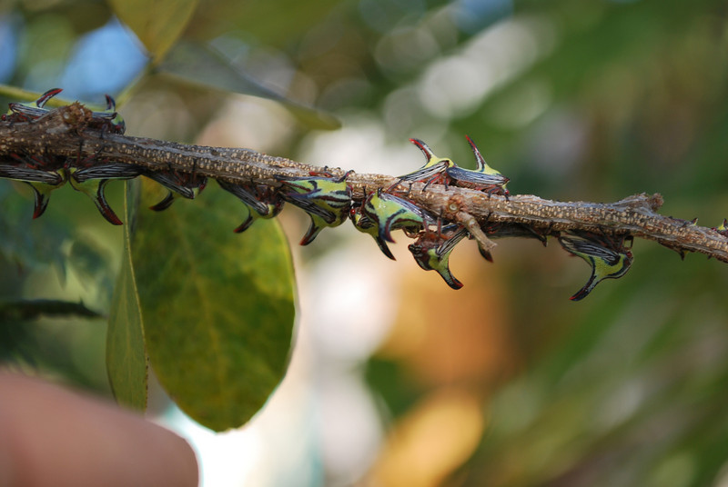 """when disturbed the """"thorns"""" start walking, fly off and bite. A bite that will get your attention."""