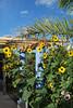 sunflower invasion