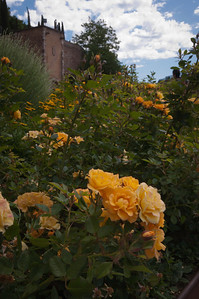 Beautiful yellow rose garden for all to enjoy.