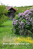 Old Barn and Lilacs, Mason County, Michigan