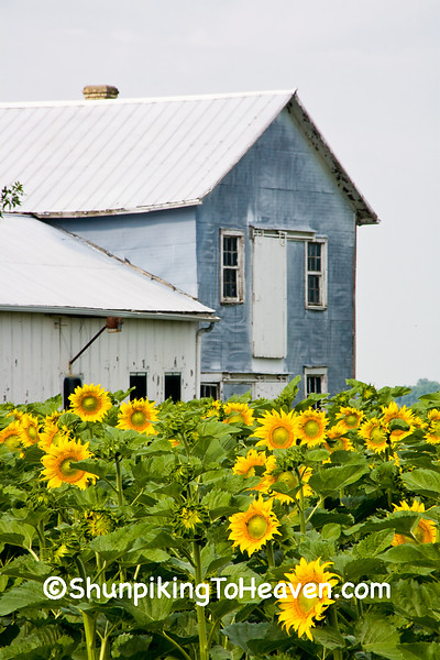 Field of Sunflowers and Old Barn, Columbia County, Wisconsin