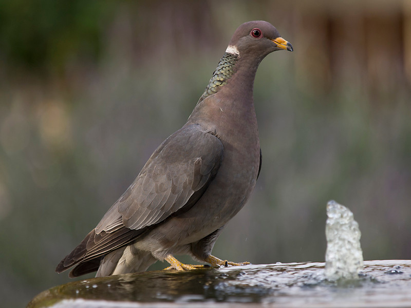 BandedPidgeon8973