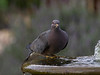 BandedPidgeon8971