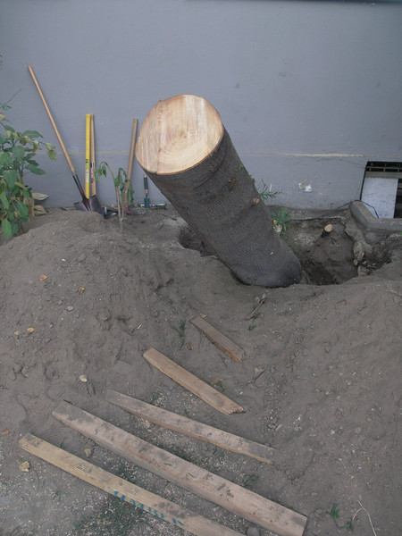 The tree trunk was cut down to about 7 feet above the ground. Then the ground was dug around the roots until enough roots could be cut to free the root ball. It was still standing and I could dig or cut no more, so we wrapped the trunk with a  tow strap and pulled it over with the Jeep until it broke.  OLYMPUS C-8080