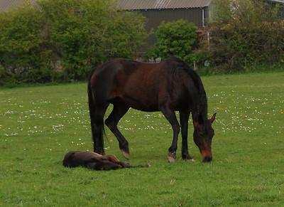 Crossraguel Abbey & Horses