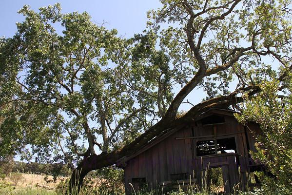 Leaning Oak