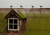 With four seagulls on an old mossy iron roof at Alcatraz, one is facing in the wrong direction.