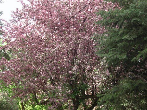 apple tree, backyard, May 2008