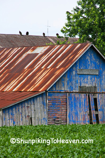 Blue Shed and Vultures, Muscatine County, Iowa