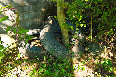 Obviously this tire laid here for a while.  The tree was growing up through the tire and looked to be 10 or more years in growth.