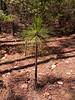 Longleaf pine.