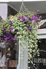 Hanging Basket outside Glosters<br /> 3 July 2015