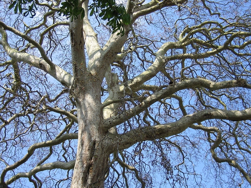 Plane tree in Ely