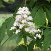 A Horse Chestnut tree was also in full bloom, here just one of the flower heads. The Horse Chestnut (Aesculus hippocastanum) is in the same family as the American Buckeye (Aesculus glabra).
