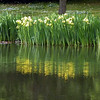 Along the lake edge, flag iris were in flower and reflected in the lake.