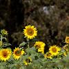 2. Sunflower Fields outskirts of Hampi