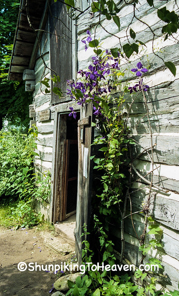 Clematis at the Bornell Cabin, Pioneer Aztalan, Jefferson County, Wisconsin