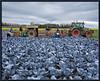 Blaukrauternte