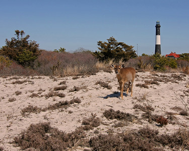 Fire Island Light House and one of many deer found on Fire Island