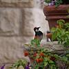 Another Acorn Woodpecker - not a statute.