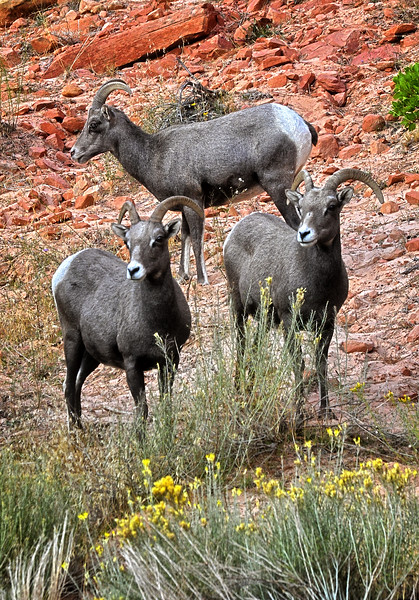 Three Mountain Sheep