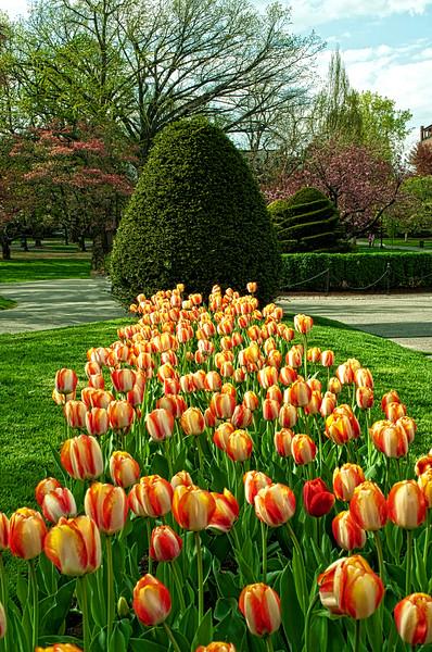 Boston Commons Tulips