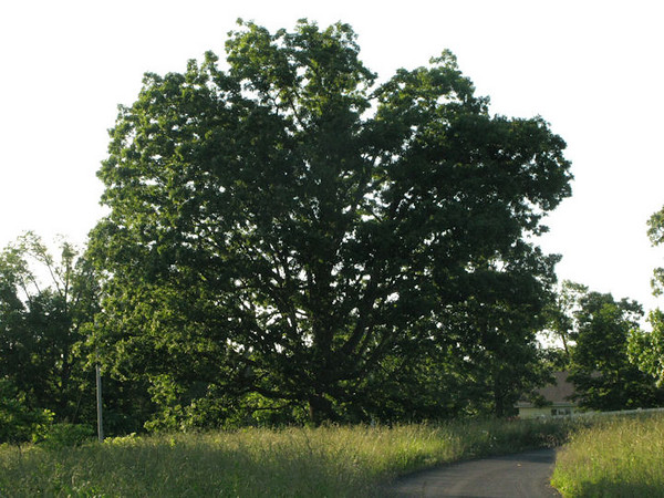 We decided to name a few of the trees so we would have some landmarks on the property.  This is Emily, a huge and beautiful oak.