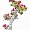BONSAI BUSH / TREE