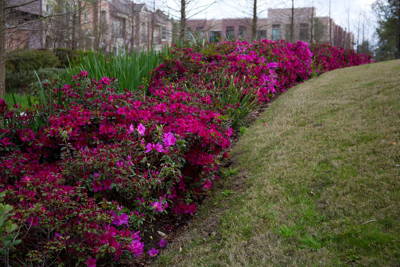 Azaleas along The Waterway, The Woodlands, TX
