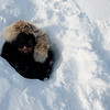 Polar bear den : Mother and babies had abandon their den. We all took turns going inside. It was an amazing feeling to know that those triplets were born here..