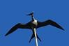 'Iwa or frigate bird over Lili'uokalani Church <br><br>North Shore of O'ahu, Hawai'i