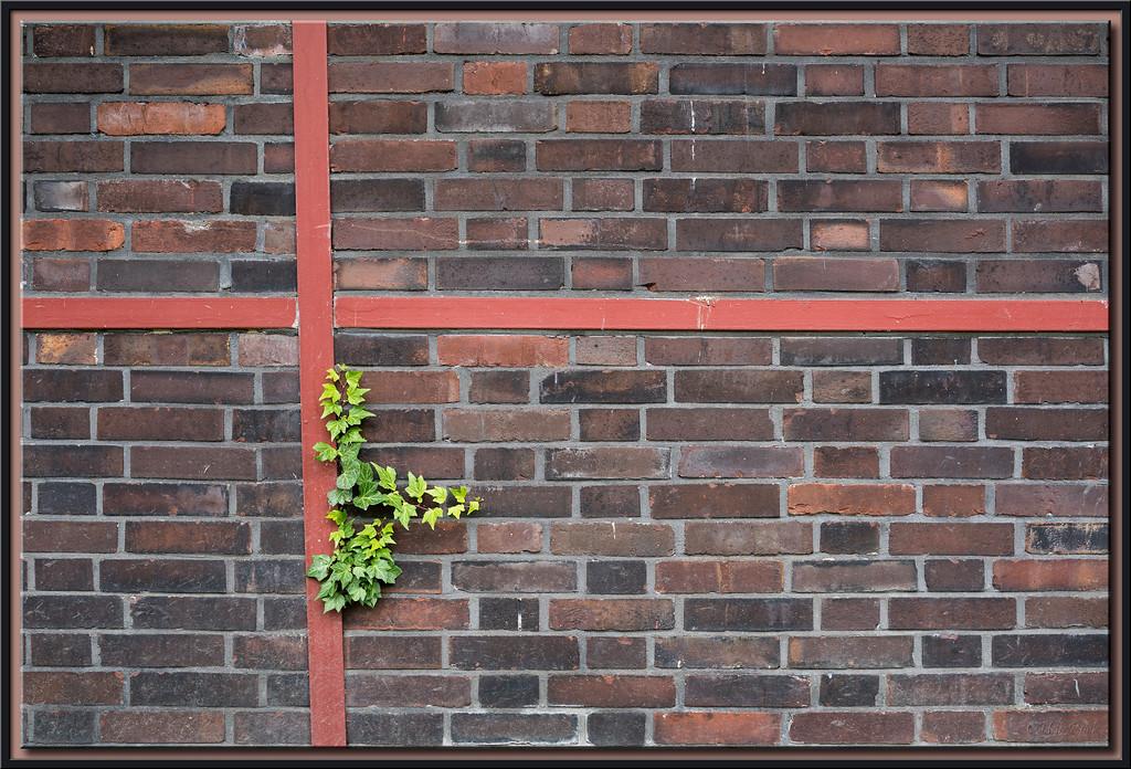 Efeu auf Ziegelmauer
