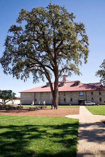 Charles Krug Winery - Large Oak Tree