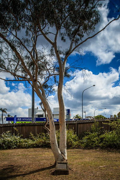 Ryde, Sydney, Australia<br /> Bicentennial Tree. Planted on 24th Jan 1988 to mark 200 years of European settlement. Situated in the yard of 'Willandra' (aka 'Ryde House').