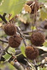 Chestnuts hanging from the trees
