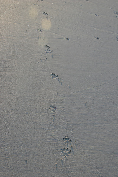 dog tracks in sand