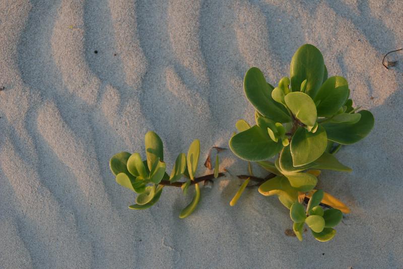 Sea Grape in Sand