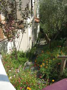I planted several varieties of coreopsis, a California drought-resistant native, to run down the steps to the base of the house. On the right the steps are lined with olive trees.