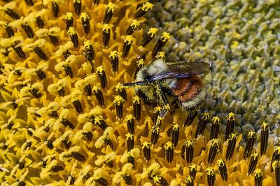 bee and sunflower, Steptoe, Washington