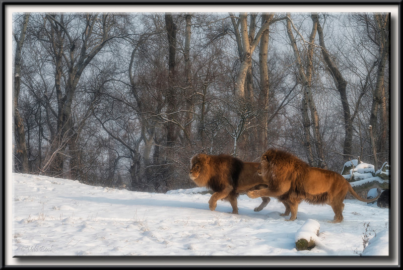 Lion Brothers in the Zoo of Warsaw