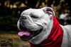 Bulldog 6