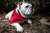 Bulldog 7