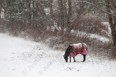 A horse look for some grass in a field on Whirl Wind Hill. The areas first snow fall started around 11am in Wallingford Saturday. The forecast for 4 to 6 inches contuning through the day. December 9, 2017 | Justin Weekes / For the Record-Journal